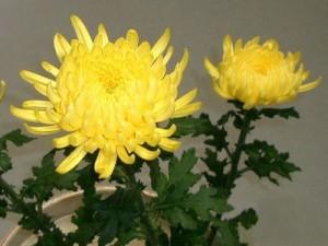 5節句-菊の節句