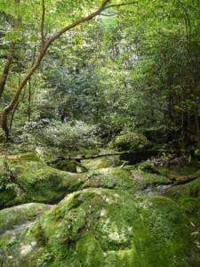 パワースポット-屋久島 苔むす森