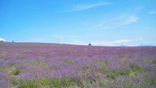 富良野のラベンダー畑1