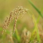 おいしいお米は全国から生産されています