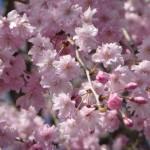 さくらの「開花」「満開」を支える標本木