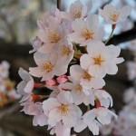 庶民の花さくら 2015年の開花日と満開日