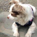 保護犬チワワの「ファーファ」との生活